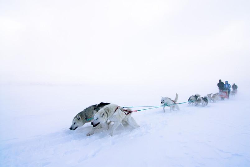Schlittenhunde im Schnee