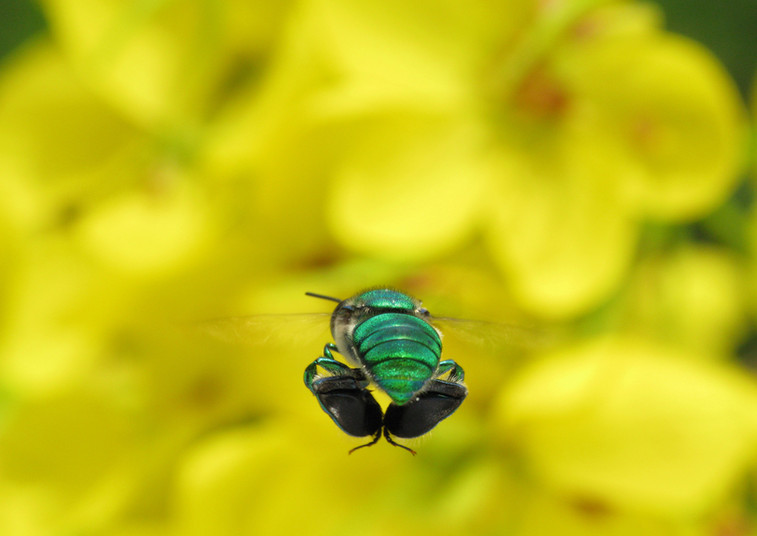 Fliegender Duftstoffsammler: Biene der Art Euglossa viridissima