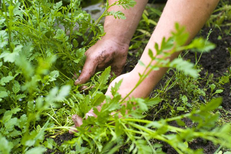 Manche Pflanzen vermehren sich sehr hartnäckig. Schlecht, wenn es die sind, die man gar nicht im Garten haben möchte.