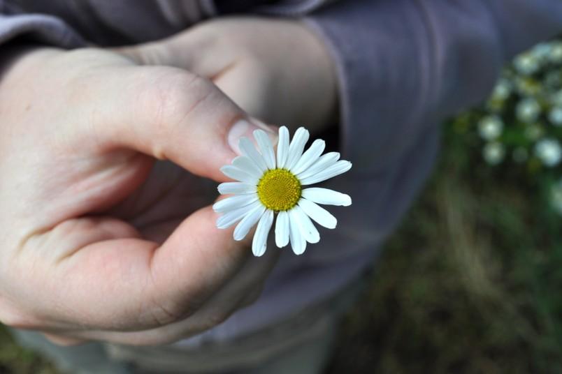 Hand hält Gänseblümchen