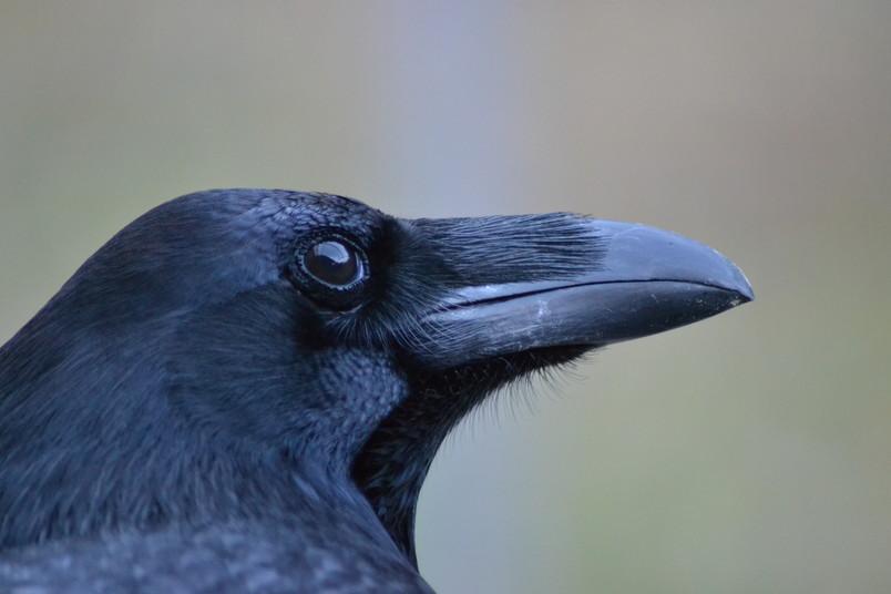 Die kognitiven Fähigkeiten von Rabenvögeln sind ebenso ausgeprägt wie die von Menschenaffen. Dabei haben sie ein viel kleineres Gehirn.