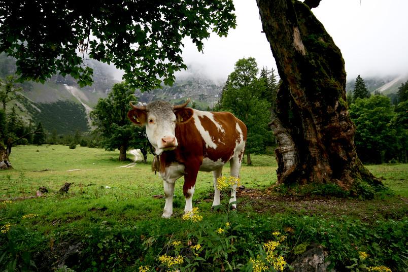 Alpenlandschaft mit Milchkuh
