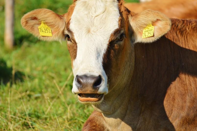 Schwer zu erkennen, ob ausgerechnet dieser wunderschönen Kuh ein Zahn fehlt.