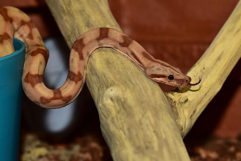 Boa constrictor (Symbolbild)