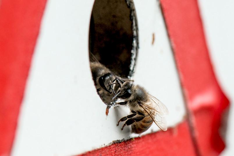 In Deutschland ist eine Bienenseuche auf dem Vormarsch: die Amerikanische Faulbrut.