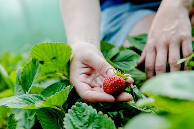 Frische Erdbeeren werden geerntet.