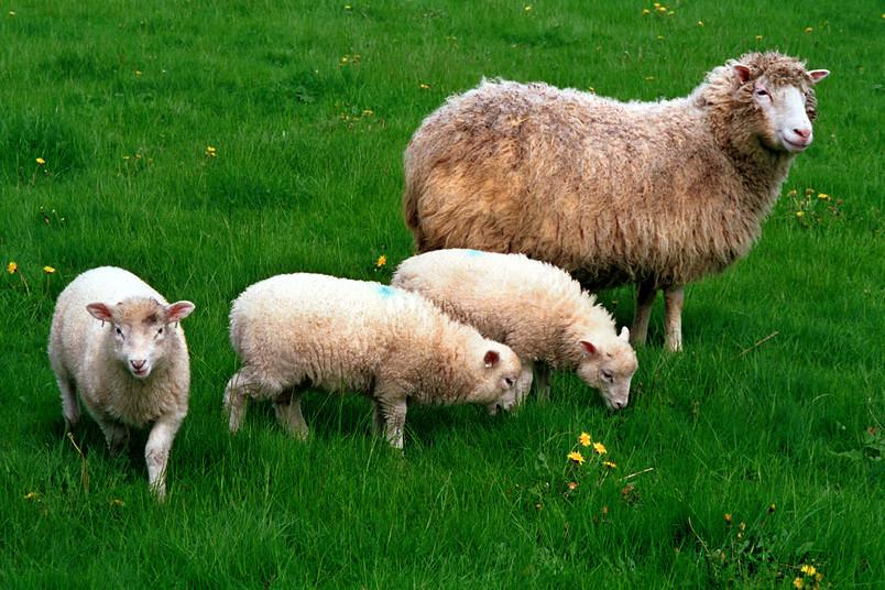 Schaf mit drei Lämmern auf einer Wiese