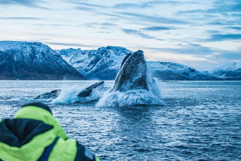 Ein Buckelwal taucht aus dem Meer auf.