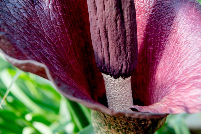 Auf dem langen Blütenstandschaft steht ein Kolben über einem einzelnen Hochblatt.