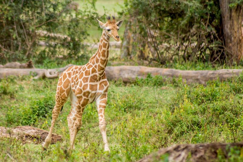 Eine junge Giraffe läuft durch Gras.