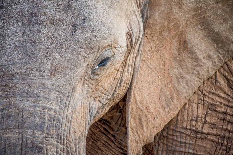 Elefant in Großaufnahme