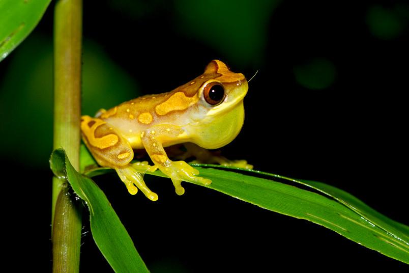 Gelber Frosch auf einem Blatt