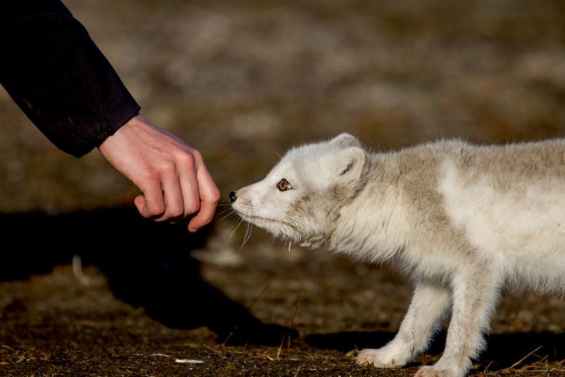 Polarfuchs schnuppert an einer Hand.