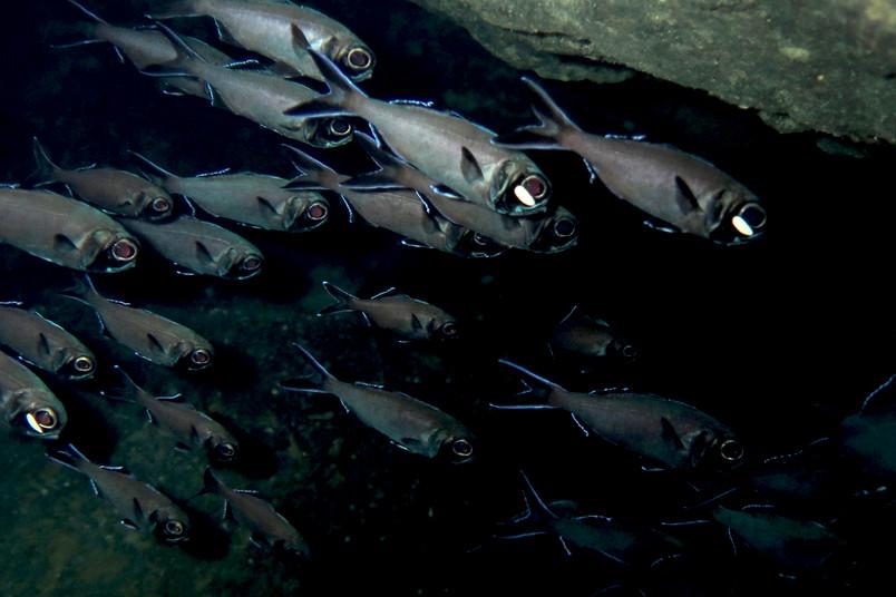 Blitzlichtfische