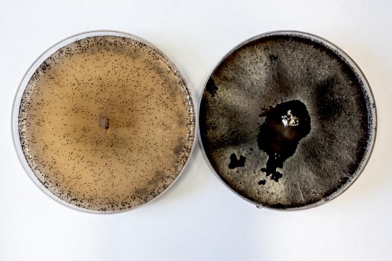 Zwei Petrischalen mit dunklen Punkten