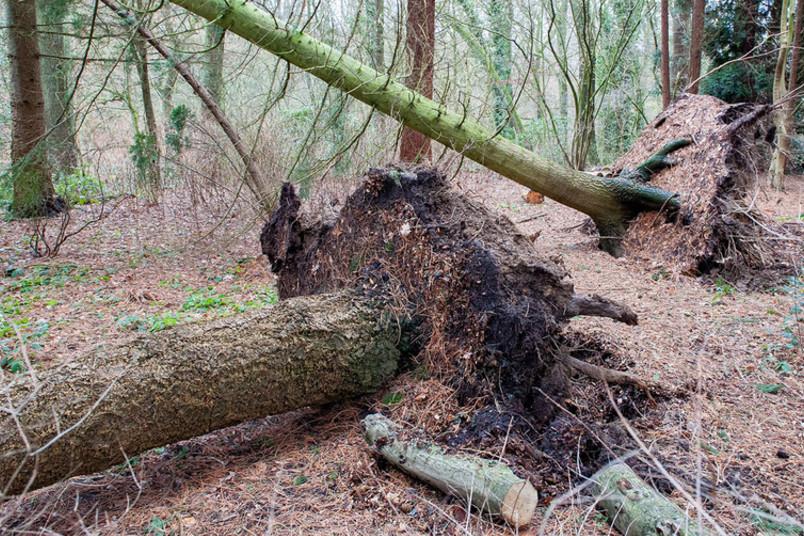 Zwei entwurzelte Bäume im Wald