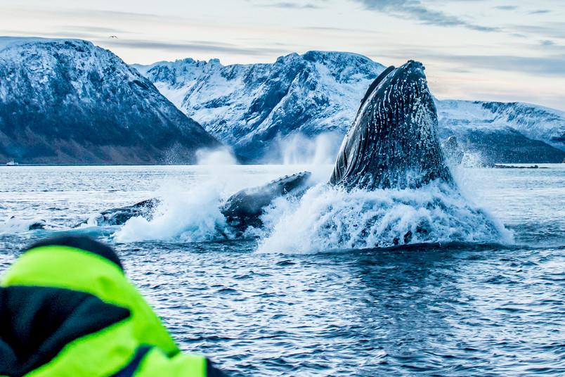 Wale stoßen aus dem Wasser.