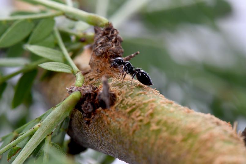 Ameise auf Baum