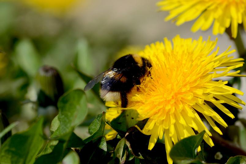 Hummel in einer gelben Blume