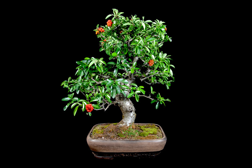 Bonsai-Pflanze