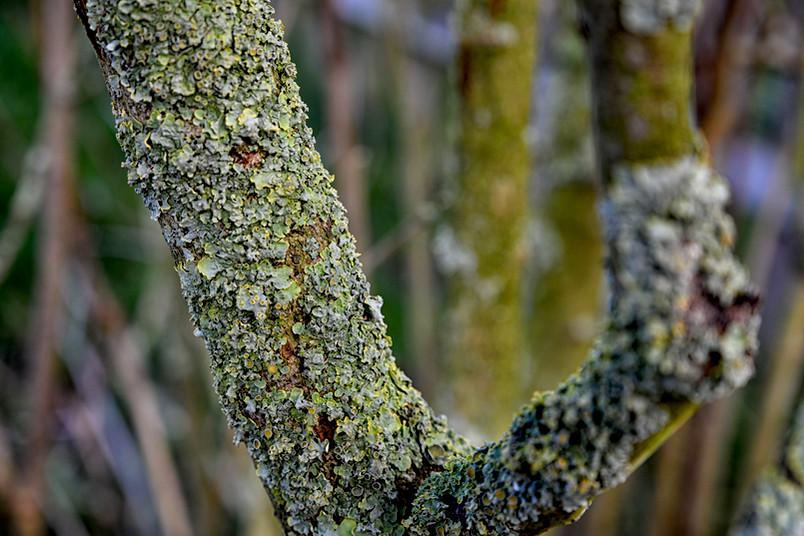 Flechten auf einem Baum
