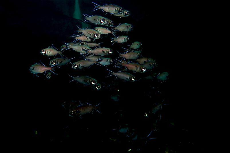 Schwarm Blitzlichtfische