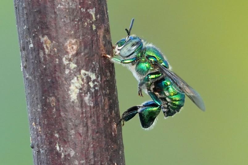 Prachtbiene