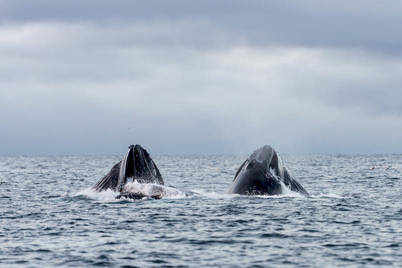 Zwei Buckelwale strecken die Köpfe aus dem Wasser.