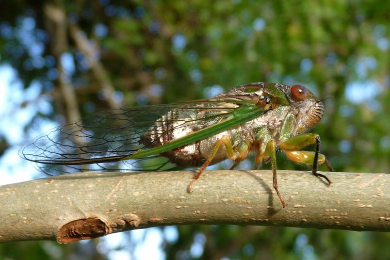 Eine Zikade
