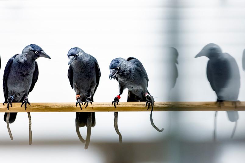 Drei Dohlen auf einer Stange