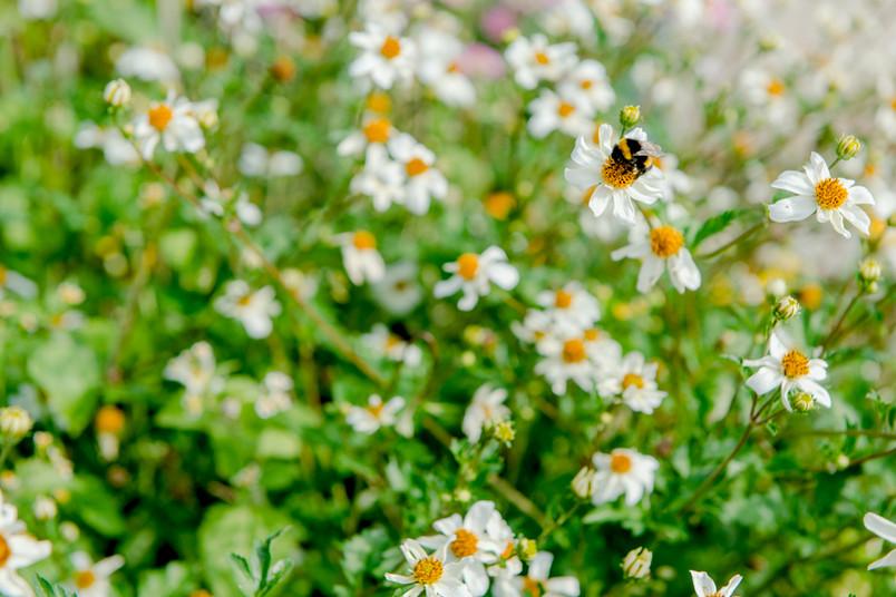 Biene fliegt um eine Blume.