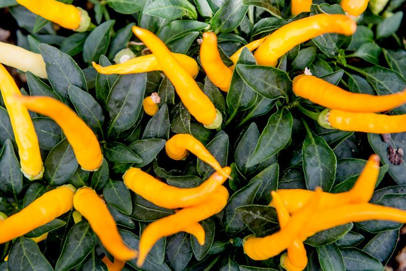 Gelbe Chilis