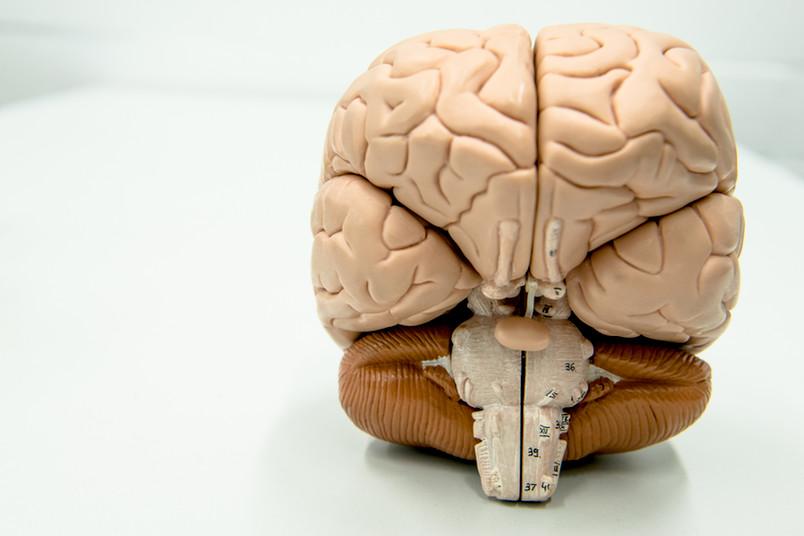 Modell eines Gehirns