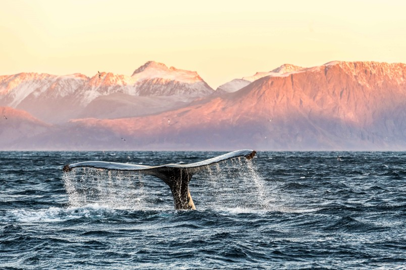 Wal-Schwanzflosse im Sonnenuntergang